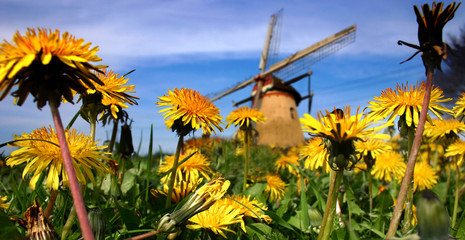 dandelions and mill in holland