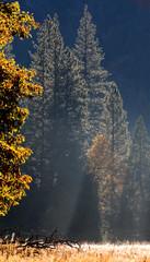 trees, early morning, yosemite valley