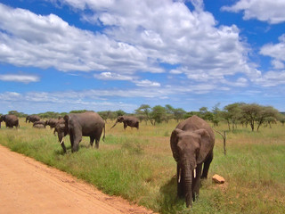 elephants in the african savanna, serengeti park, tanzania Wall mural