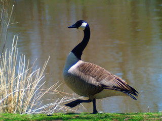 canadian geese walking