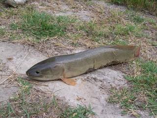 photo mudfish full body view