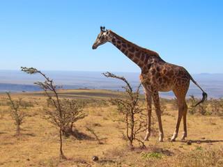 one wild giraffe, serengeti park, tanzania Wall mural