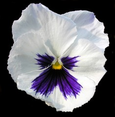 Search photos pansies flowers white pansy flower head with face on black background mightylinksfo
