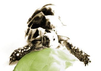 tartaruga e insalata