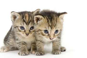 pair of kittens on white backgroun