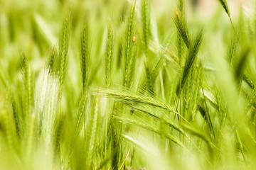 herbe epis