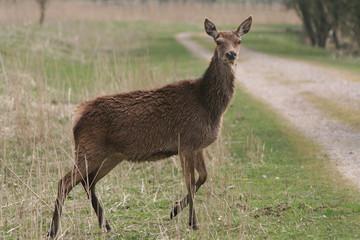 deer walking