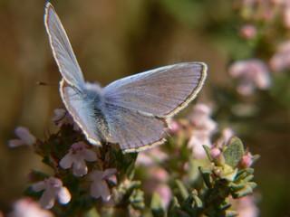 papillon bleu nacré