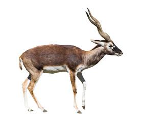 Garden Poster Antelope indian black buck antelope standing isolated over