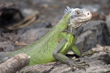 iguane femelle