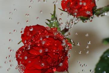 rose sous les goutes