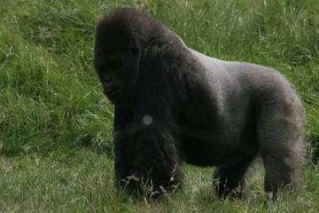 male gorilla 2
