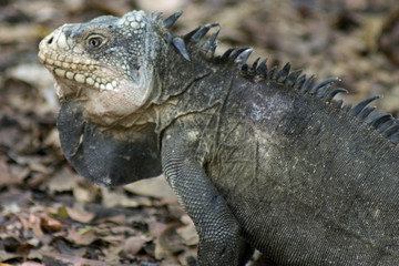 iguane mâle