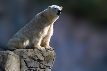 polar bear sitting on a rock