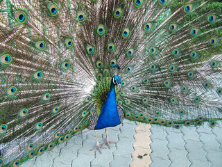 peacock tail background