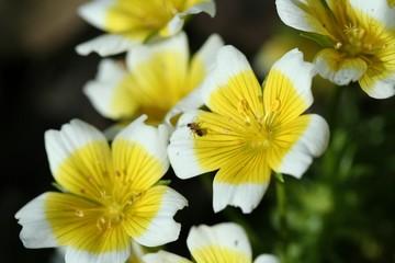 fleur ceur jaune
