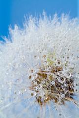 Fotorolgordijn Paardebloemen en water dandelion with drops