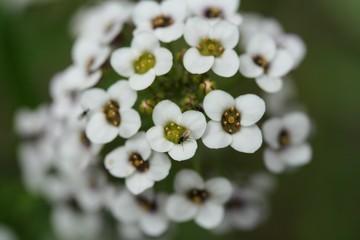 fleur boule