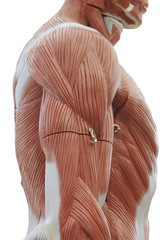 trunk muscle model