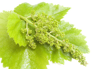 cluster of a young grapes