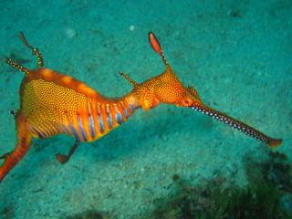 Fotobehang Koraalriffen Weedy Sea Dragon