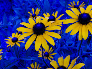 radical black eyed susans