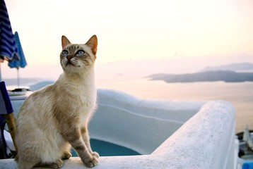 cat on santorini island