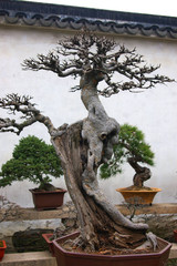 bonsai tree and garden in suzhou, china