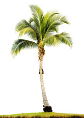 Poster Palmier palm tree isolated