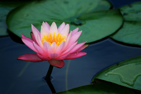 lily pads and lotus flower