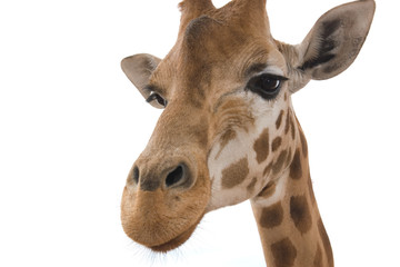 closeup giraffe on white