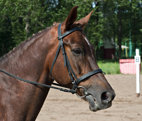 Dressage horse ready to compete