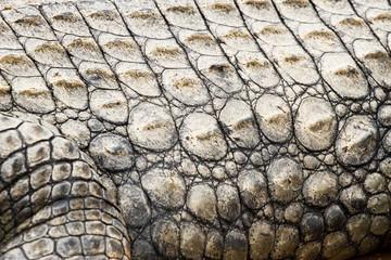 Printed roller blinds Tiger crocodile