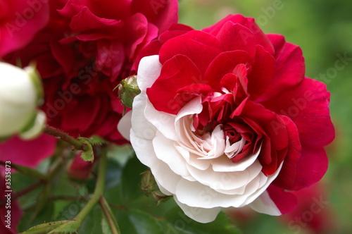 Rose Rouge Et Blanche Signification Depu Vi