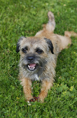 english border terrier relaxing in the grass on a summer day