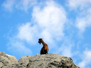 Ibex at Peace on cliff