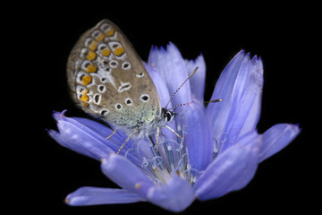 azure butterfly and chicory flower on black background