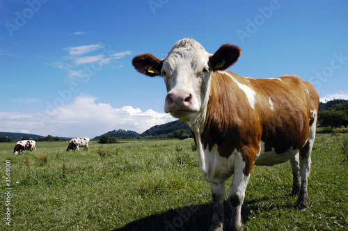 Canvas Prints Cows