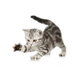 British Shorthair kitten in front of a white background