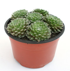 Cactus in a pot isolated over white
