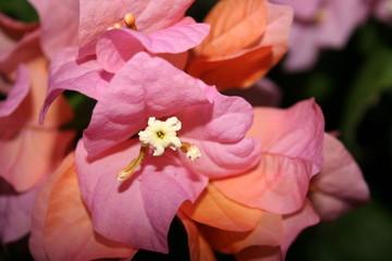 Papiers peints Rose banbon beauté cachée
