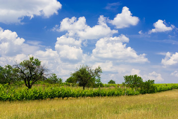 Field, vineyard, trees and blue cloudy sky