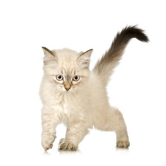 Blu-tabby-point Birman kitten in front of a white background