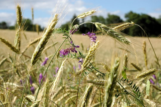 Flowers in wheat