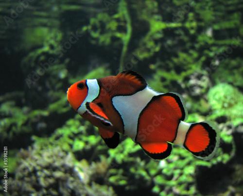 Clown Fish Scientific Name Amphiprion Ocellaris Color
