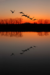 Silhouette and Reflection of Canadian Geese at Red Sunset