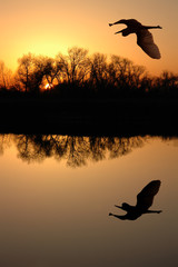 Golden Sunset and Silhouette of Great Blue Heron, Reflection
