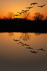 Silhouette of Endangered Sandhill Cranes, Reflection