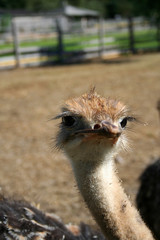 Young ostrich birds in the farm