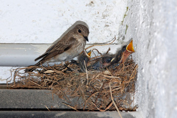 Usignoli nel nido e mamma
